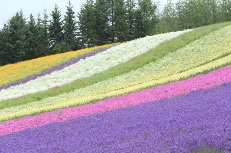 Lavender Field copyright Farm Tomita JNTO